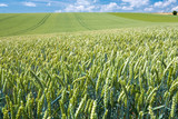 summer country wheat field