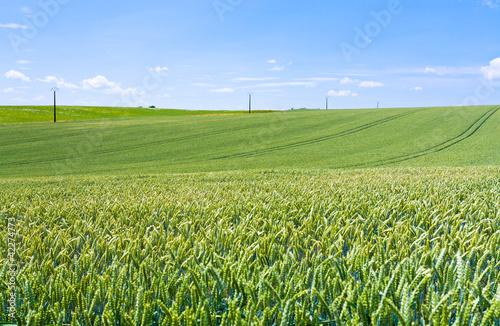 green wheat field under blue sky