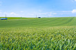green wheat field under blue sky