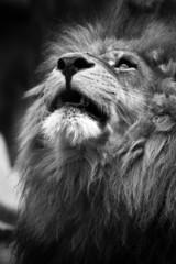 Portrait of Lion Looking Upwards