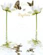 lotus et papillons