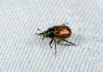 lost beetle on blue jeans (garden chafer)