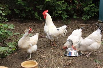drei Hühner und ein Hahn