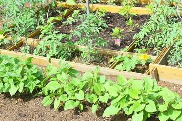 haricot vert, tomates, plants