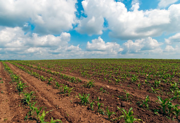 landscape blue cloudy sky and green little corn field