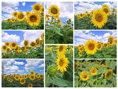 Sunflower collage.