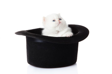 White persian kitten  sitting in hat.