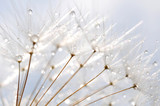 water droplet on dandelion seeds - 42302120