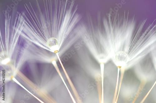 Naklejka water droplet on dandelion seeds