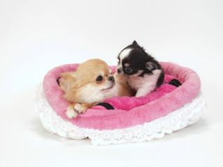 ピンクのベッドに入った2匹のチワワ