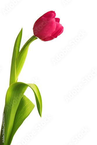 kwiat-tulipana