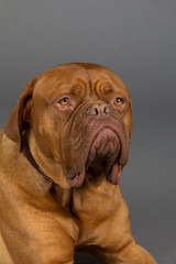 Dogue De Bordeaux dog laying down and looking sad dog with huge