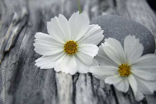 Spa still with white flower with stone on old wood texture