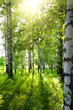 Leinwanddruck Bild - summer birch woods with sun