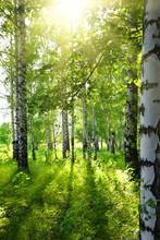 bois de bouleaux en été avec le soleil