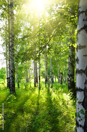 Aluminium Bossen summer birch woods with sun