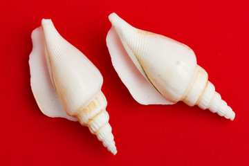 Two brown white seashells isolated