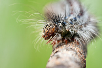 Closeup of a caterpillar's head