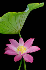 Lotus flower and leaf isolated on black background