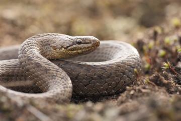 Schlangen - Schlingnatter