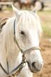 Grey Horse