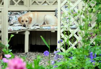 labrador in the garden