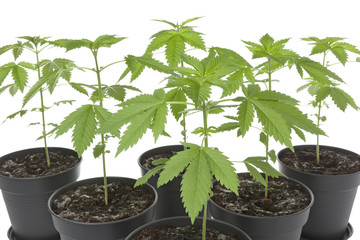 Marijuana plants in plastic pot