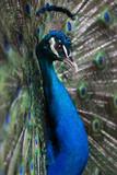 Fototapeta pióro - poziomy - Ptak