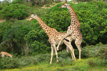 Breeding giraffes