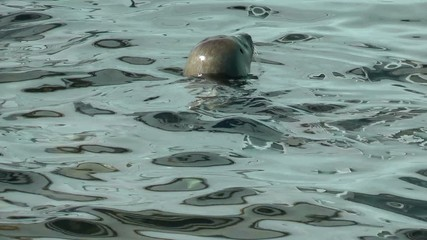 Seals swimming, reflections on water surface