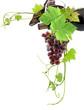 de vigne en grappe
