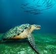 Huge sea turtle on the seaweed bottom