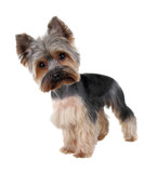 Yorkshire Terrier in front over white  ( cutting hair)
