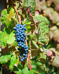 Red Wine Grapes of Cote Rotie