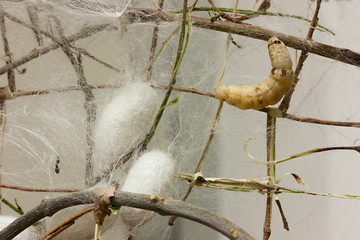 cocoons and silkworm