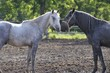Grey and black stallion sniffing each other