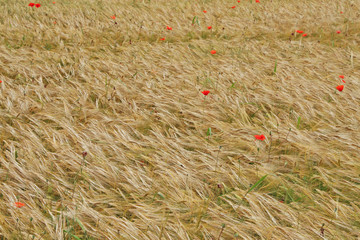 red poppies in contrast in the field of yellow wheat spikes