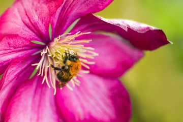 Bumble bee on pink Clematis flower