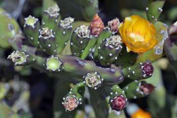 Chumbera con flor