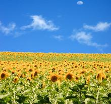 champ de tournesols