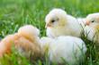 baby chicken in grass
