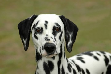 Dalmatian dog head portrait