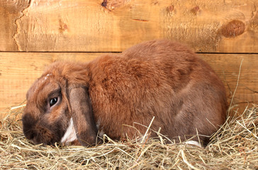 Lop-eared rabbit in a haystack on wooden background