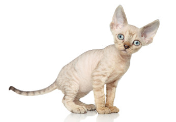 Devon Rex kitten on white background