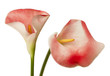 red calla flowers isolated