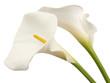 Fototapeten,callas,blume,weiß,floral
