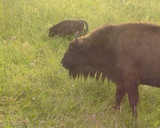 Captive-bred wisent. Adult young feed in meadow. IUCN Red List poster