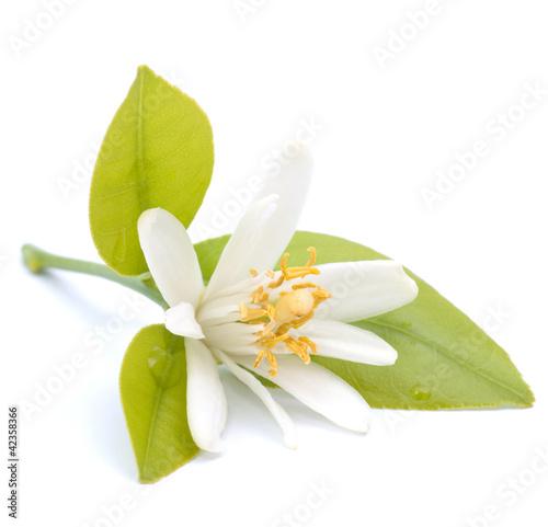 Papiers peints Fleur Blüte, Zitrusfrucht