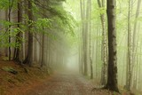 path on the border between coniferous and deciduous trees - Fine Art prints
