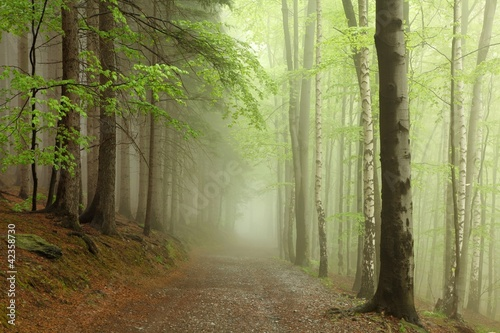 Foto op Canvas Bos in mist path on the border between coniferous and deciduous trees